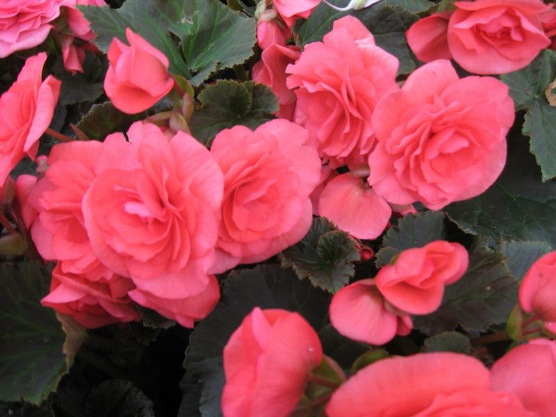 Zimmerpflanzen roza Begonie