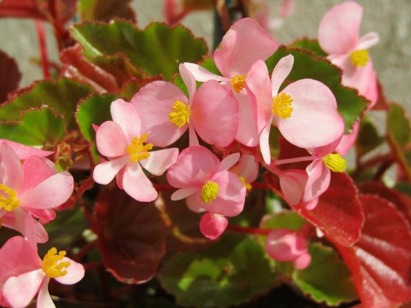 blühende Zimmerpflanzen Begonie