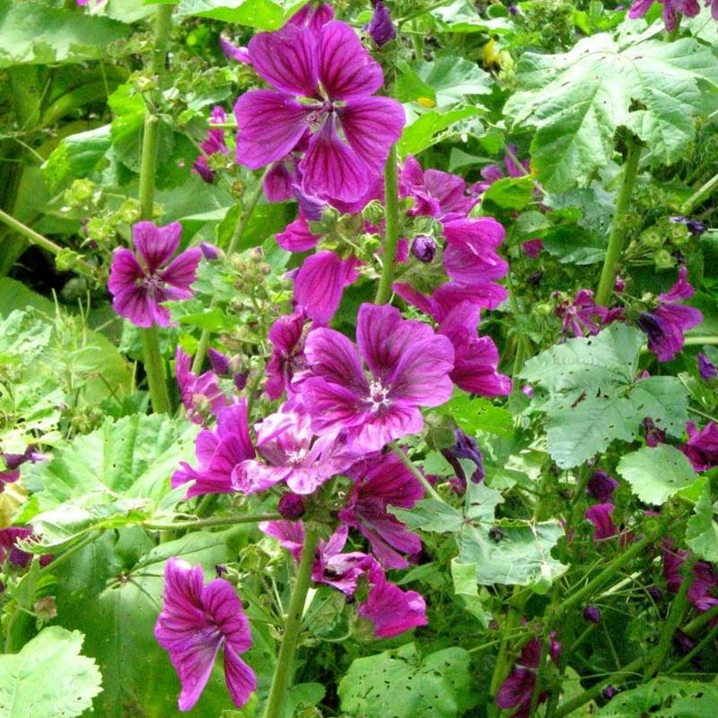 Blühende Malve Zimmerpflanzen