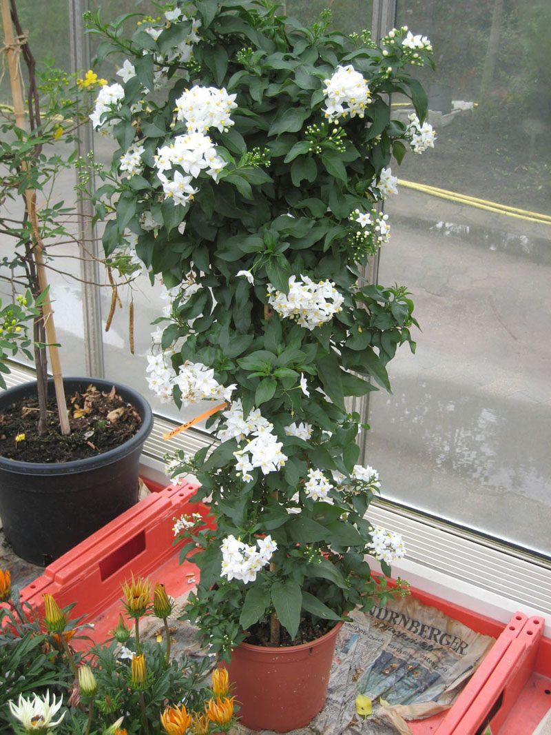 Malve Terrassenpflanzen