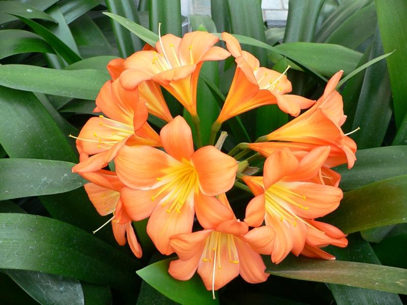 blühende Zimmerpflanzen Clivia miniata