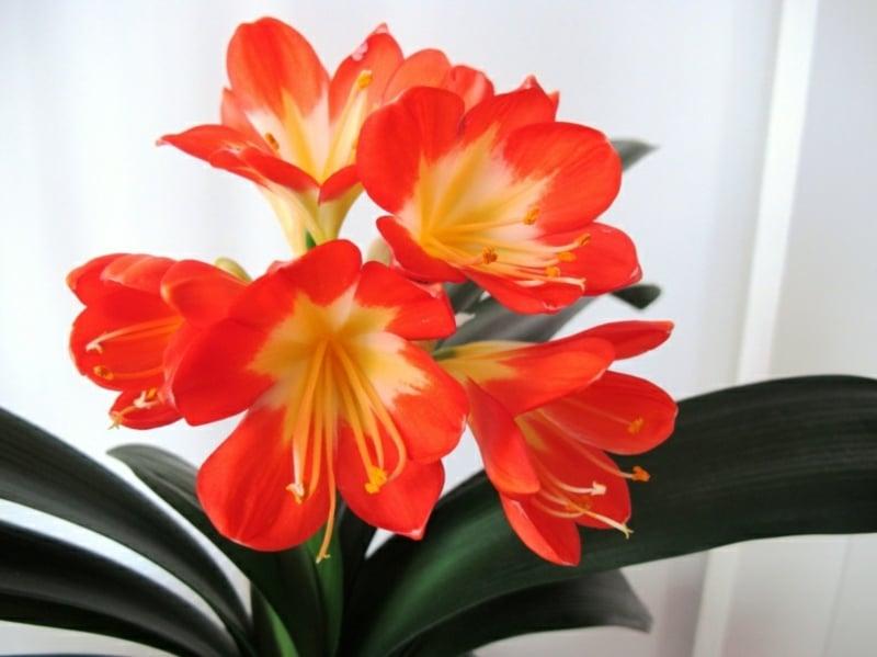 clivia Zimmerpflanzen