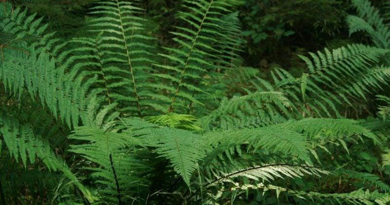 schattenliebende Pflanzenarten Farn