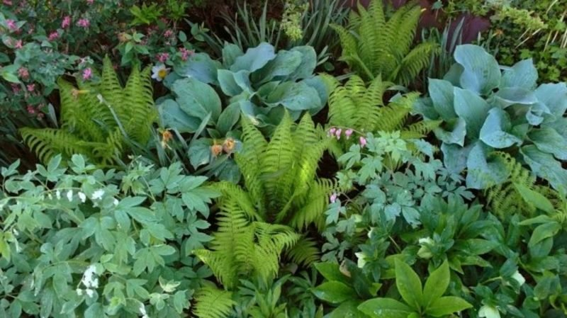 Schattenpflanzen Farnen