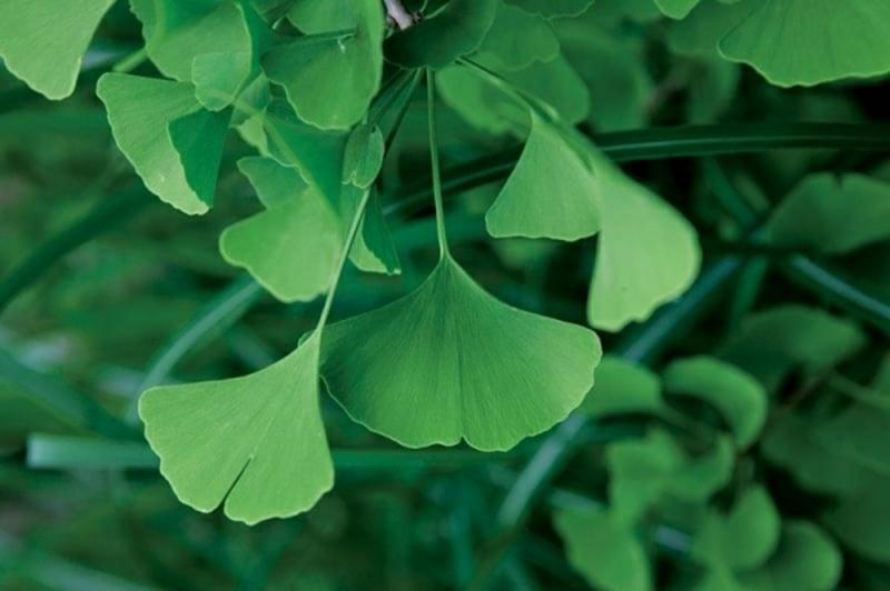 Schattenpflanzen Ginkgo biloba