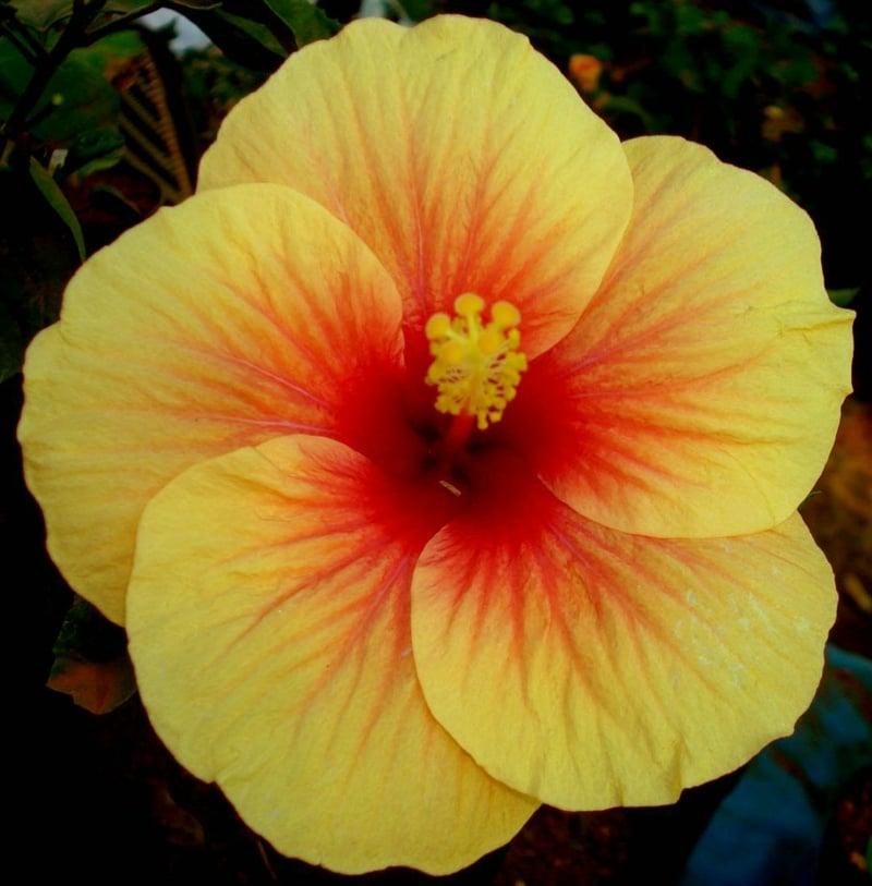 Hibiscus mit gelben Blühten