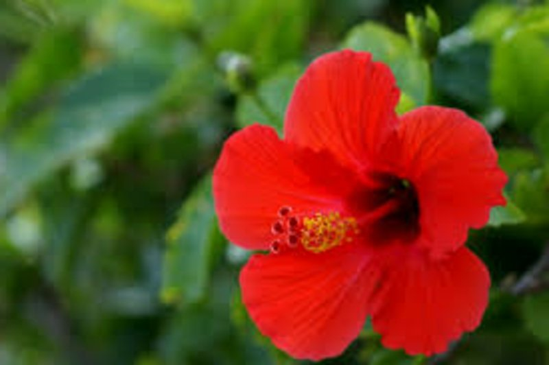 Hibiscus mit roten Blühten