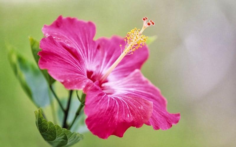 Hibiscus mit roza Blühten
