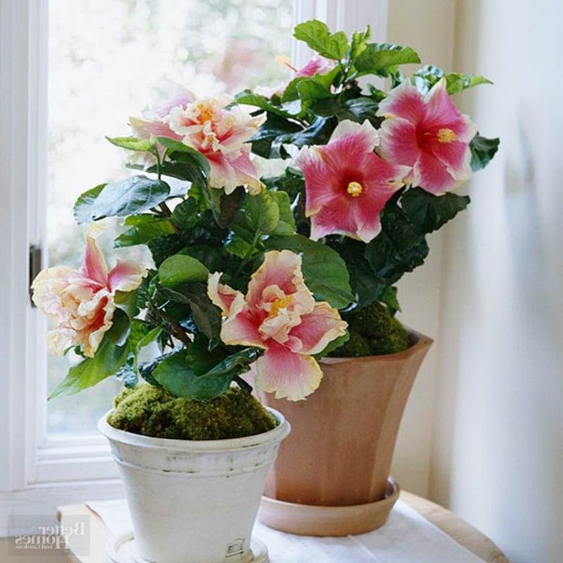 Zimmerpflanzen Hibiscus