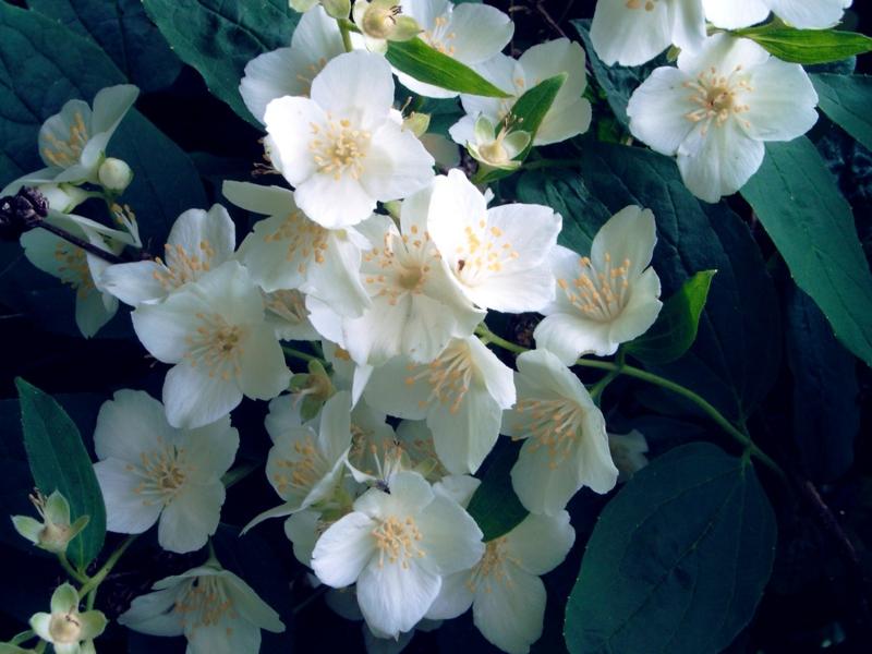 Jasmin blühende Zimmerpflanzen