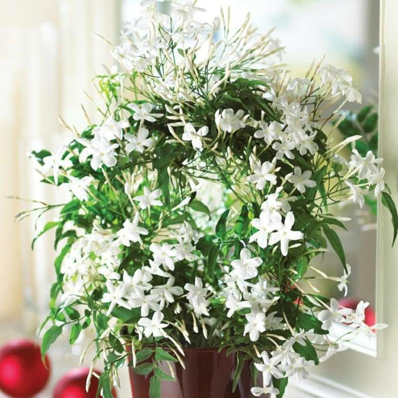 blühende Zimmerpflanzen jasmin