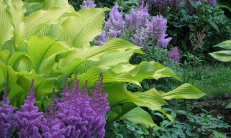Schattenpflanzen Prachtspieren