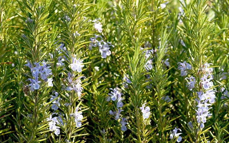 winterharte Balkonpflanzen Rosmarin