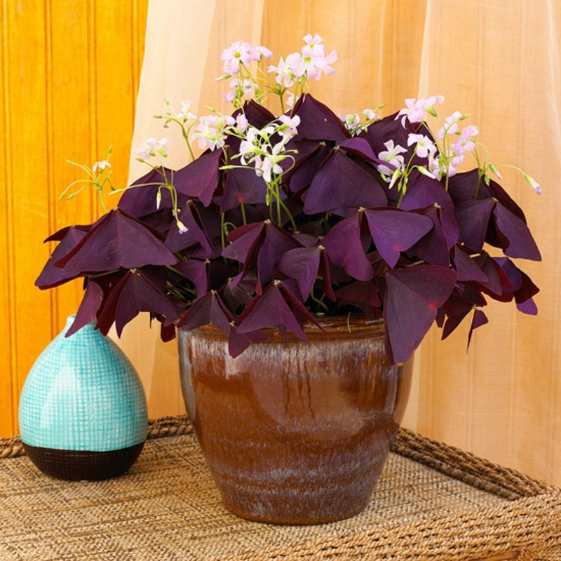 Blühende Zimmerpflanzen oxalis triangularis