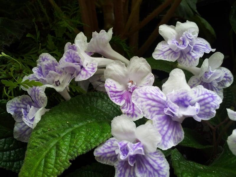 blühende Zimmerpflanzen Streptocarpus