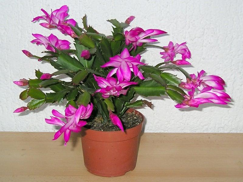 Weihnachtskaktus blühende Zimmerpflanzen