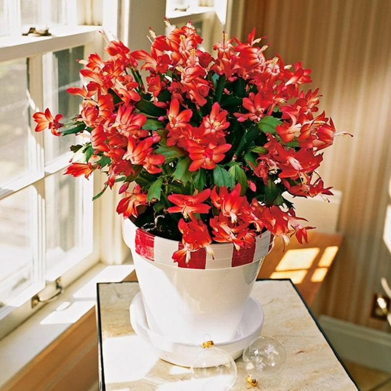 Zimmerpflanzen Weihnachtskaktus