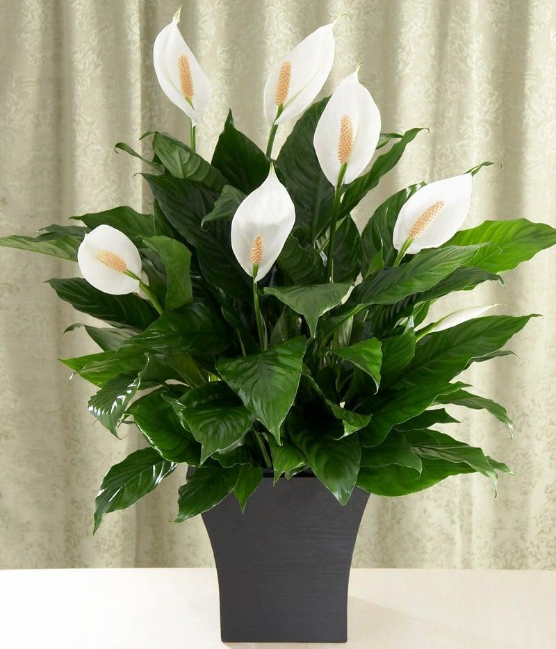 Grünpflanzen Green Plants Zimmerpflanzen: 13 Pflegeleichte Blühende Zimmerpflanzen