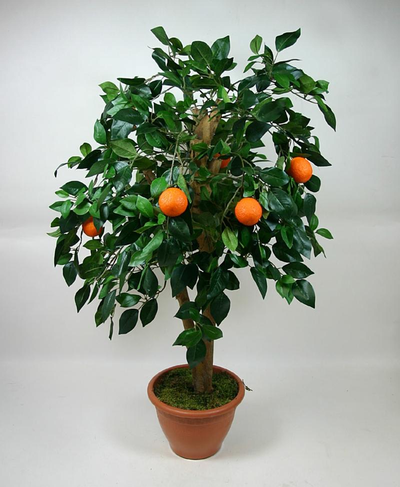 dekorativer Orangenbaum blühende Zimmerpflanzen