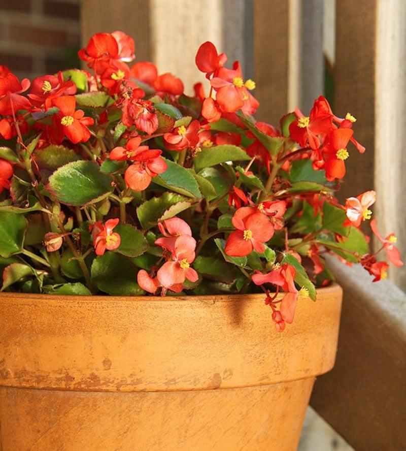 Begonie blühende Zimmerpflanzen