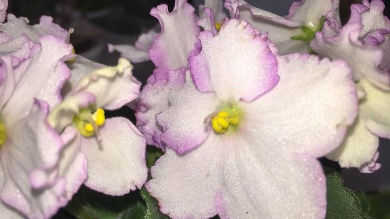 afrikanische Veilchen blühende Zimmerpflanzen