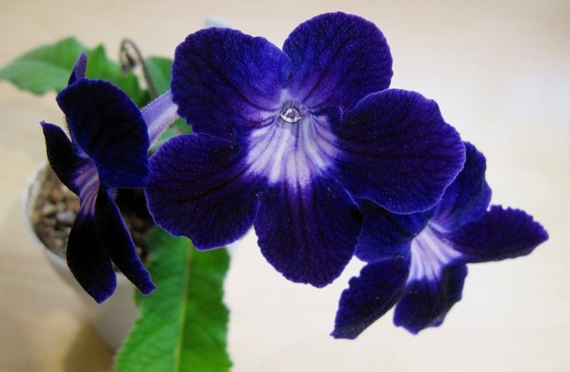 13 Pflegeleichte Bluhende Zimmerpflanzen