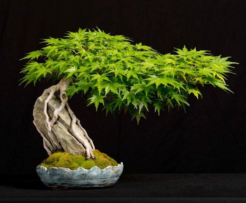 Bonsai Arten Acer Palmatum