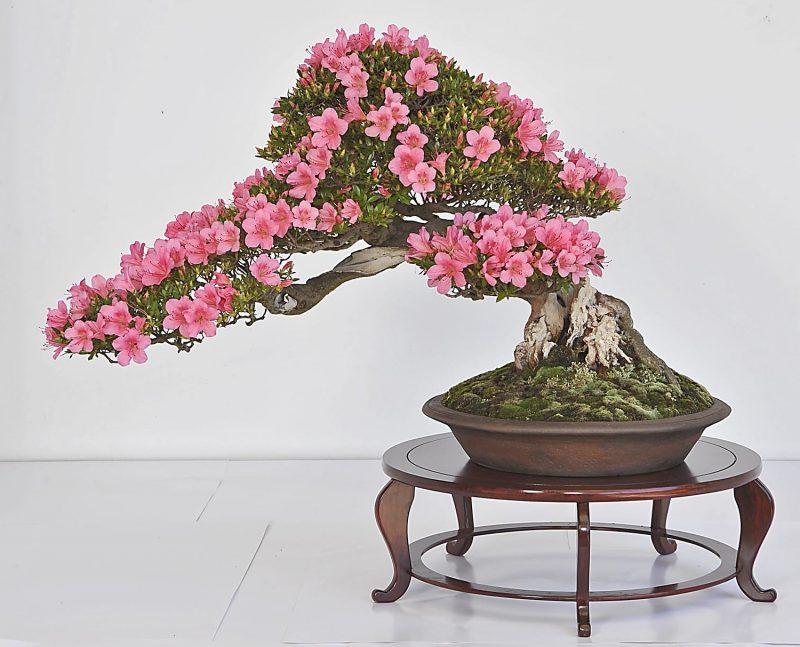 Bonsai Arten Azalee