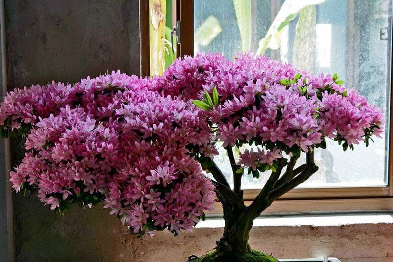 Bonsai Arten Azalea