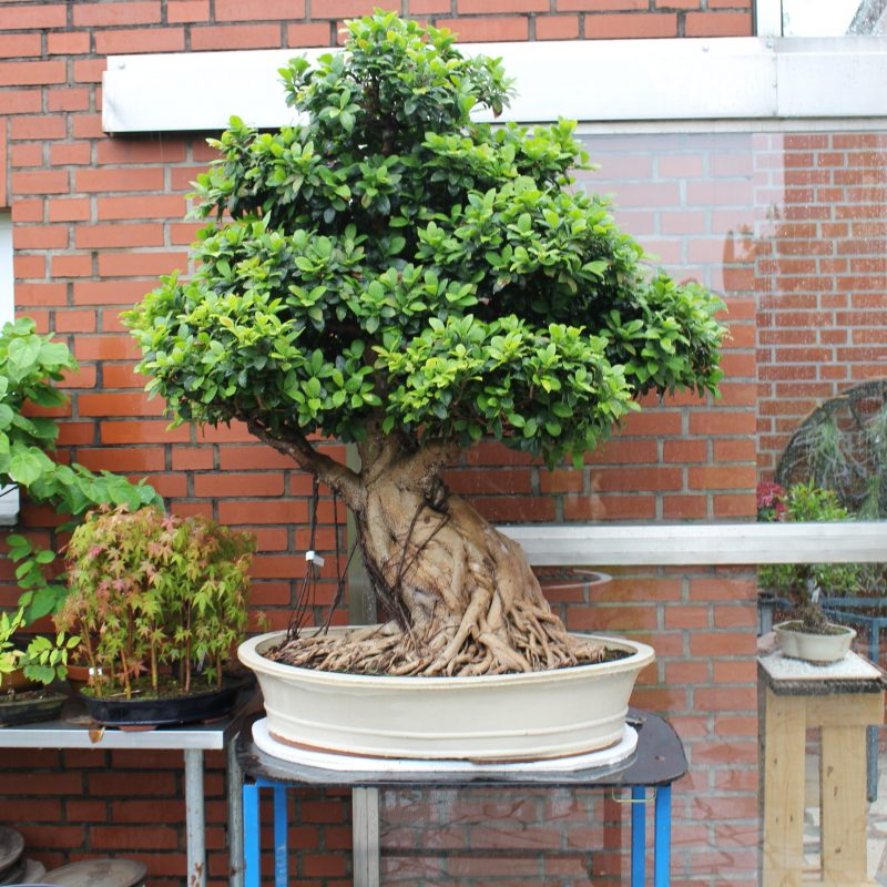 Bonsai Arten Boking