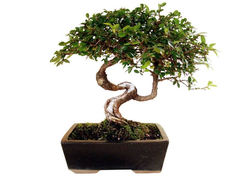 Bonsai Arten Chinesische Ulme
