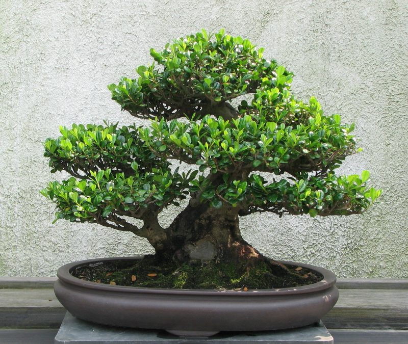 Bonsai Arten Eurya