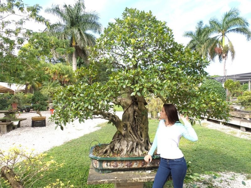 Bonsai Arten Ficus