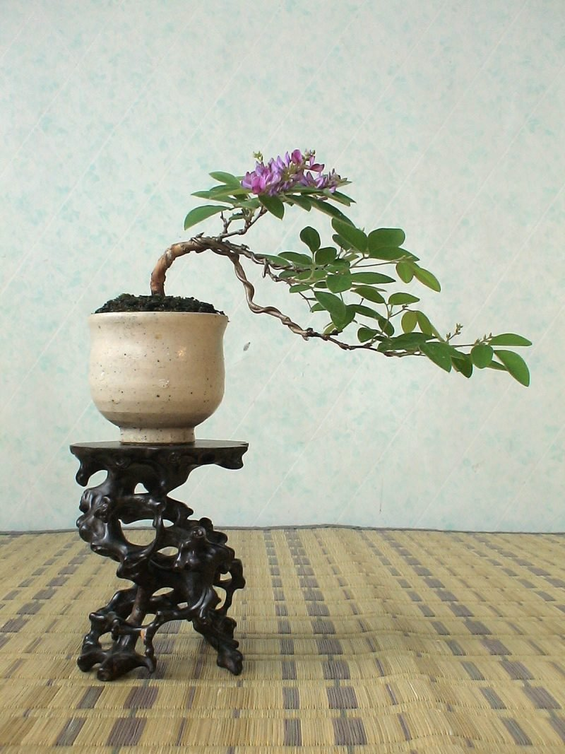 Bonsai Arten Hokidachi