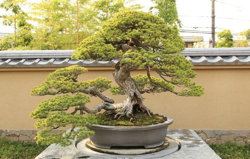 Bonsai Arten Japanische Maedchenkiefer