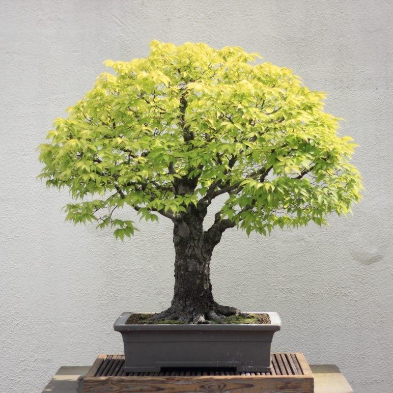 Bonsai Arten Japanische Zelkowe