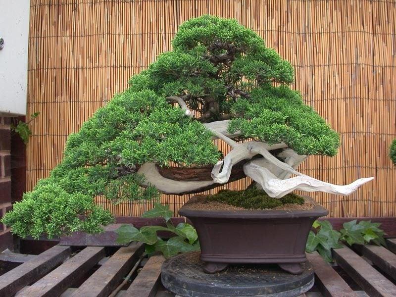 Bonsai Arten Juniper