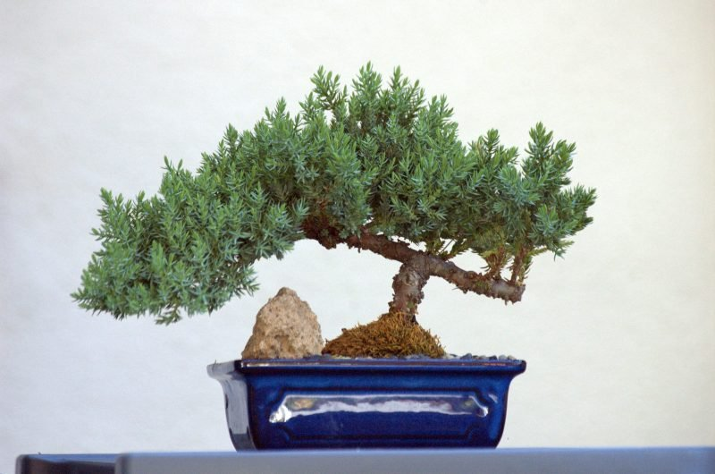 Bonsai Arten klein