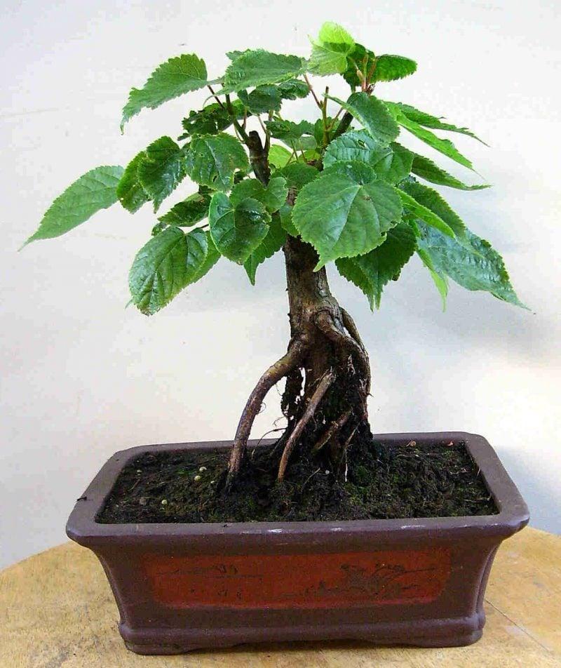 Bonsai Arten Linde