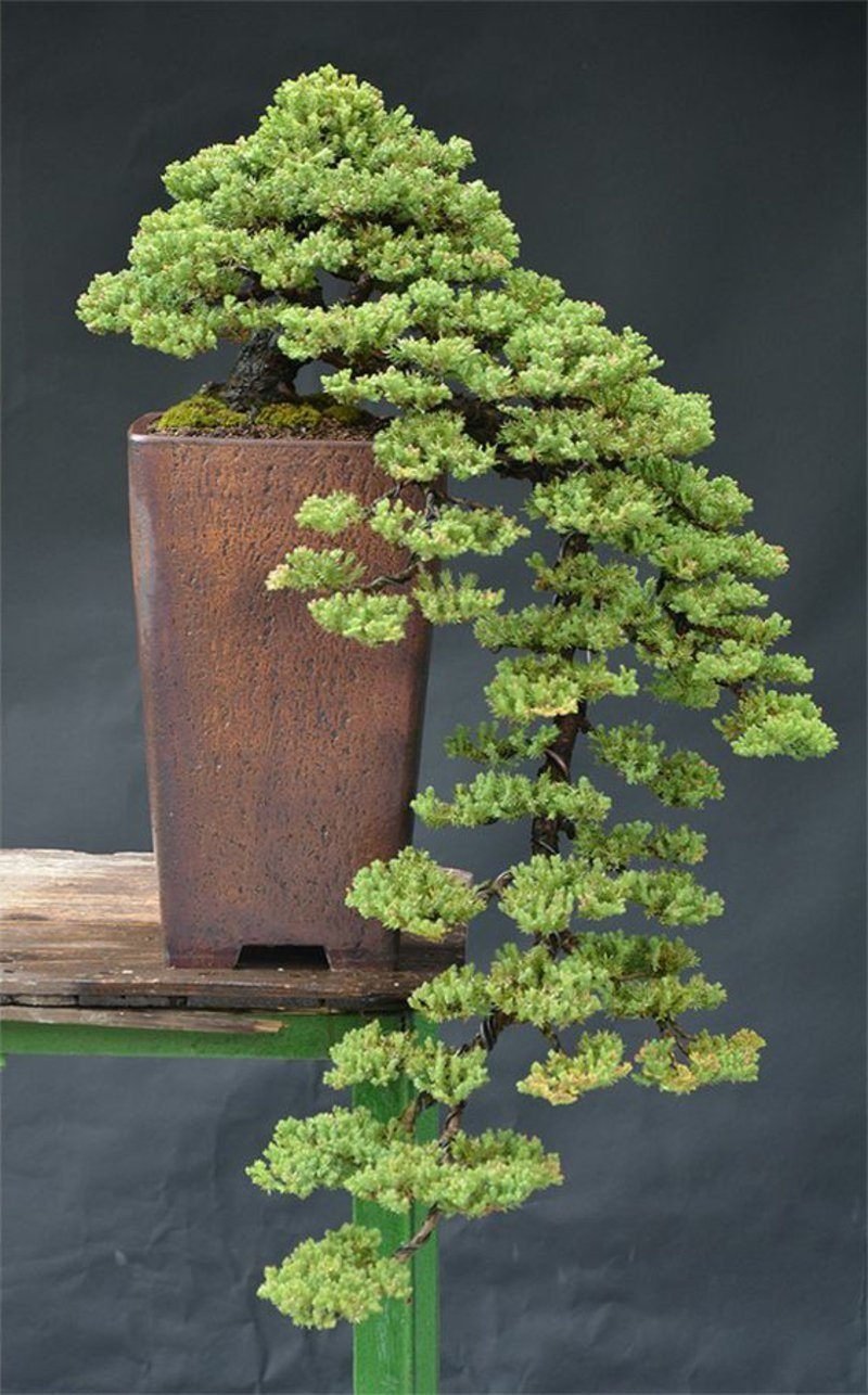 Bonsai Arten Pflege