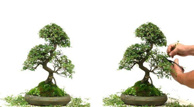 Bonsai Arten Pflegung