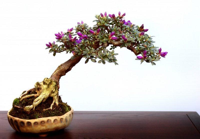 Bonsai Arten Rhododendron