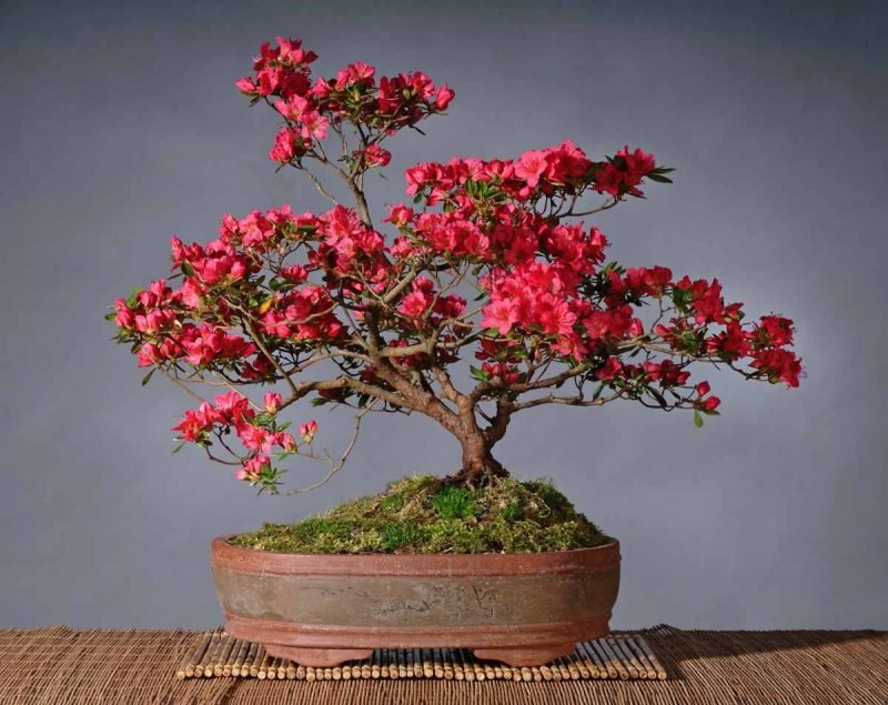 Bonsai Arten Rot