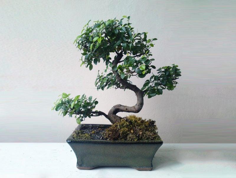 Bonsai Arten Sageteria