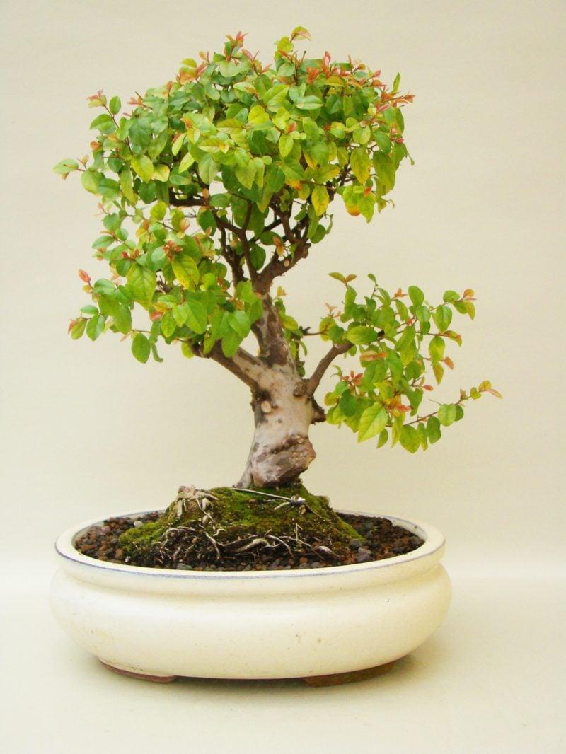 Bonsai Arten Sageterie
