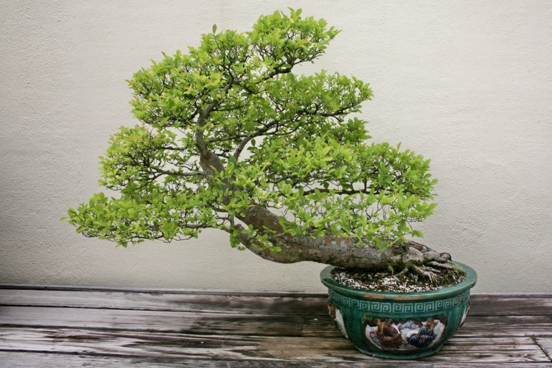 Bonsai Arten Ulmus Parvifolia