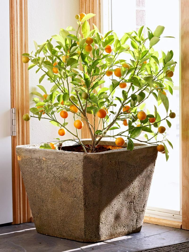 dekorativer Orangenbaum Zimmerpflanzen