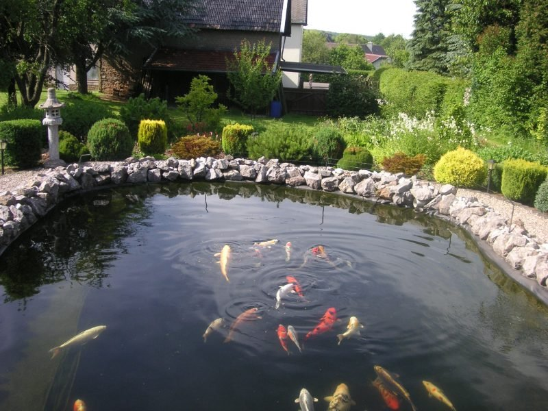 Put fishes in the pond for Gartenteich im winter fische