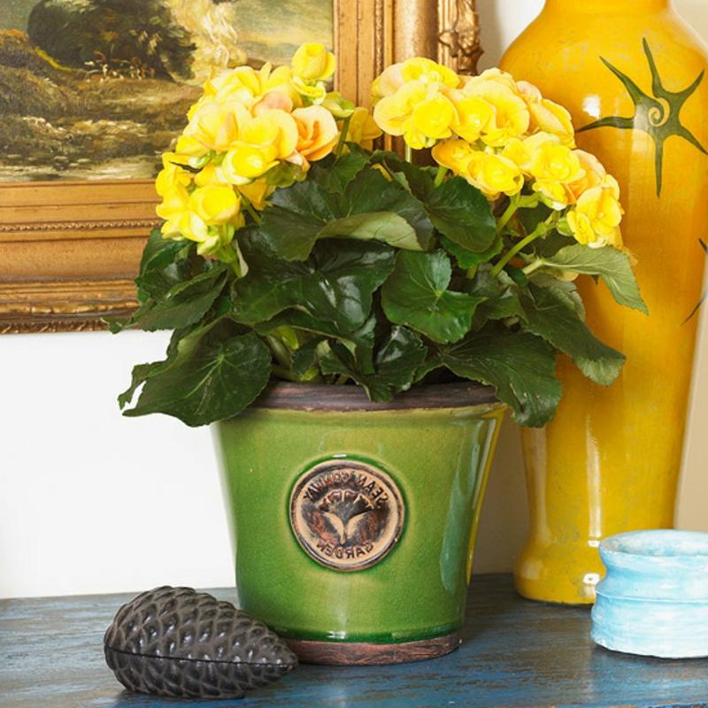 Zimmerpflanzen gelbe Begonie