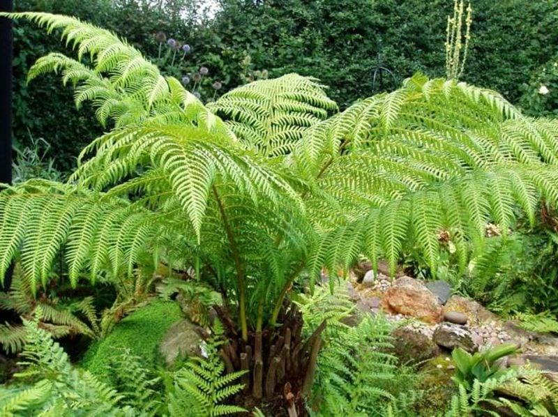 schattenliebende Pflanzenarten grosser Farn